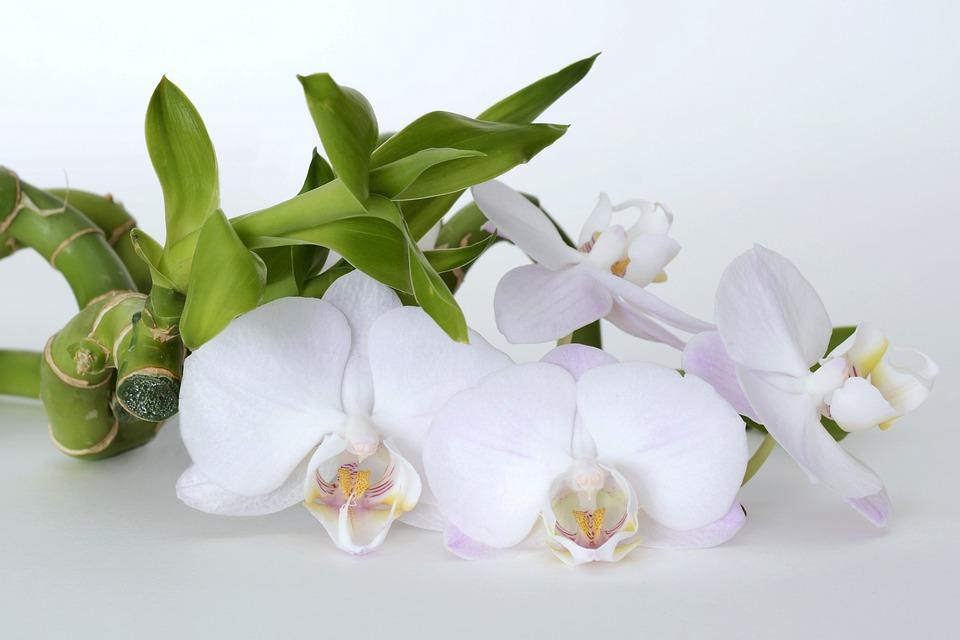 蘭の花言葉と意味|白蘭・赤蘭の花言葉