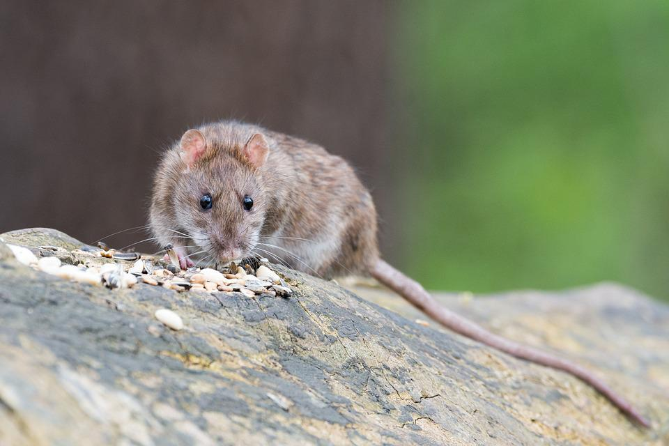 photo of a rodent
