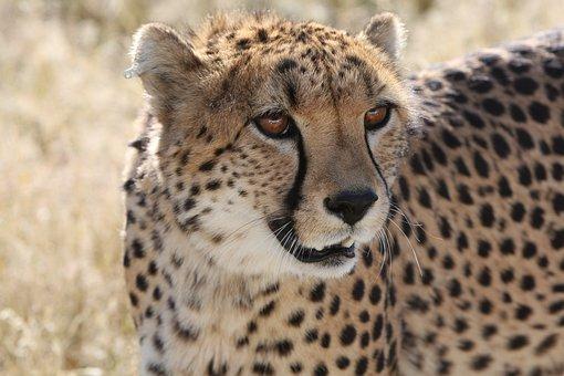 Cheetah Namibia Nature Wild Life Predator
