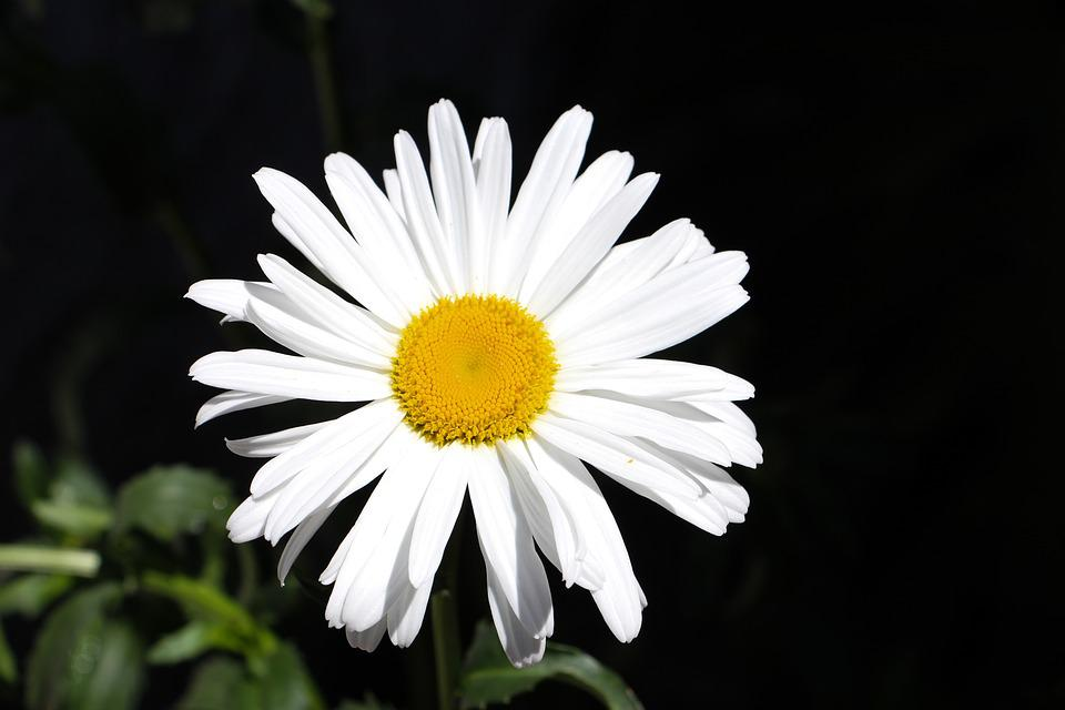 free photo flower, white, daisy, dark, petalas  free image on, Beautiful flower