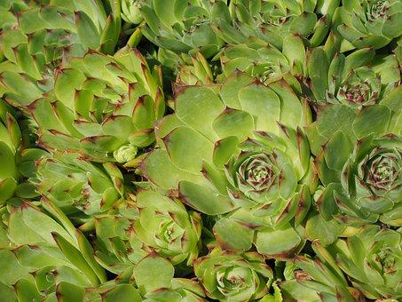Houseleek, Sempervivum, Stone Garden