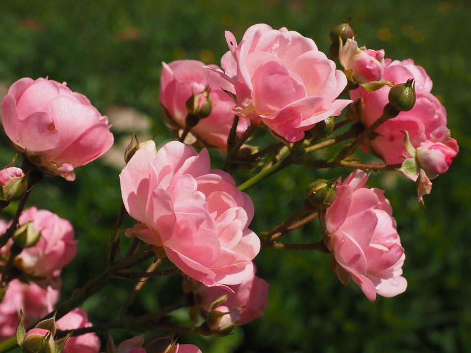 Roses, Rosebush, Pink, Garden Roses