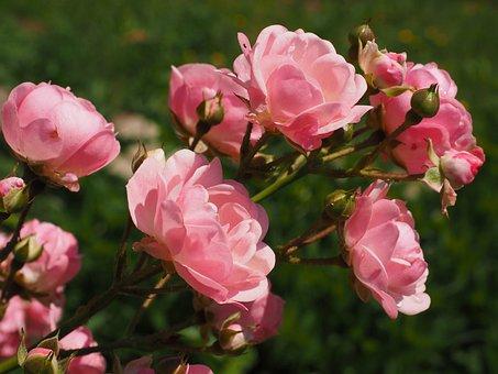 Розы, Фиолетово, Розовый, Сад Роз