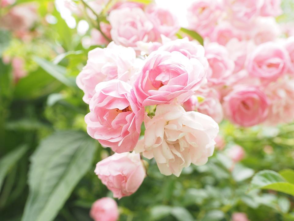 Roses Pink Light Rosebush , Free photo on Pixabay