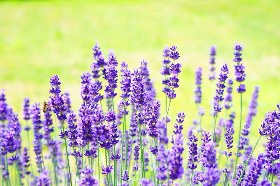free photo lavender, flowers, flower, purple  free image on, Beautiful flower
