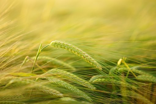 Новая болезнь почв может уничтожить урожай на Кубани