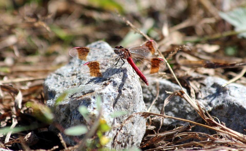 Dragonfly Red Stone - Free photo on Pixabay