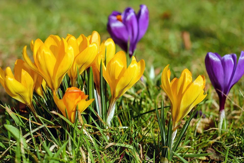 Crocus flowers bloom free photo on pixabay crocus flowers bloom yellow violet spring meadow mightylinksfo Images