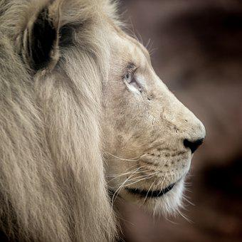 Lion White Big Cat Mane Eyes