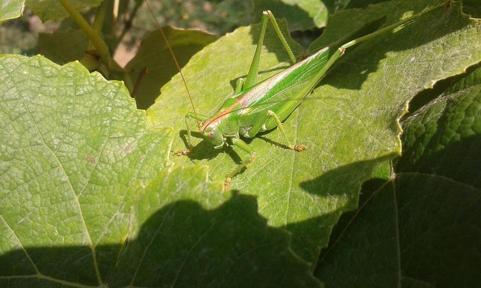 Krekel groene natuur gratis foto op pixabay krekel groene natuur insect sprinkhaan altavistaventures Images