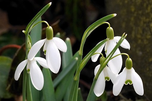 Snowdrop, White, Spring, Flower, Nature