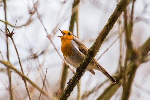 Bird, Singer, Singing, Chirp, Tweet
