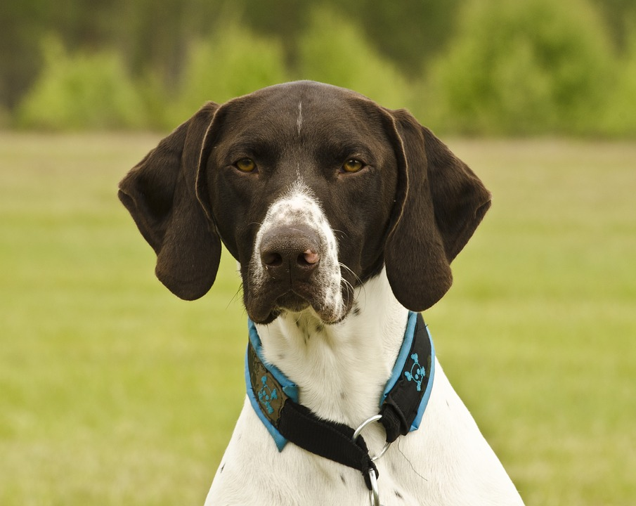 Short Haired German Shorthaired Pointer, Dog