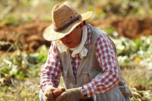 Straw Hat, Farmer, Sweet Potato Farming