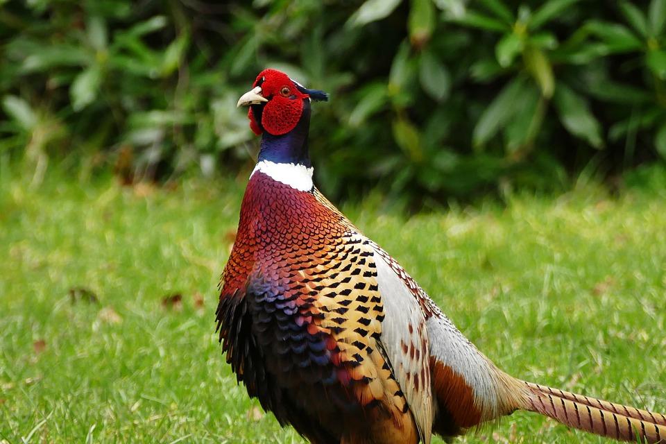 Faisan oiseau des animaux photo gratuite sur pixabay - Image animaux gratuite ...