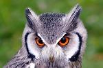 birds, owl