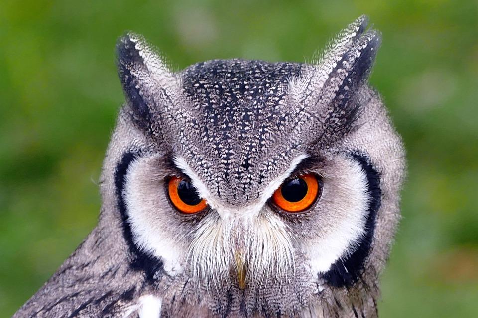 Southern White Faced Owl Birds Free Photo On Pixabay
