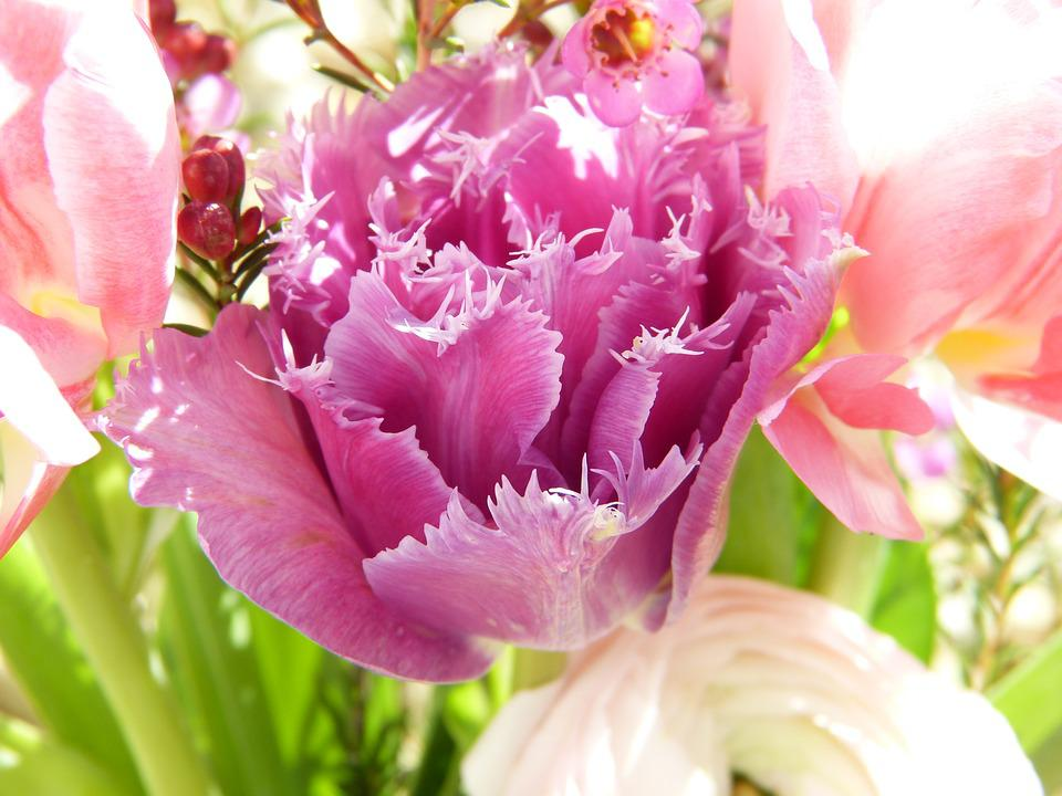 free photo tulips, flowers, pink, spring  free image on pixabay, Natural flower