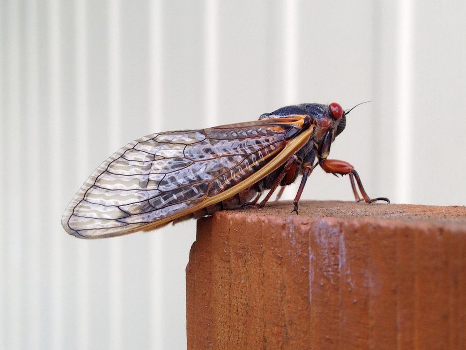 Magicicada, Periodical Cicada, Cicada, 17 Year