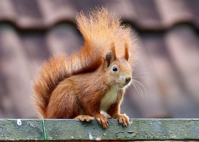 Picture of squirrel climbing roof.