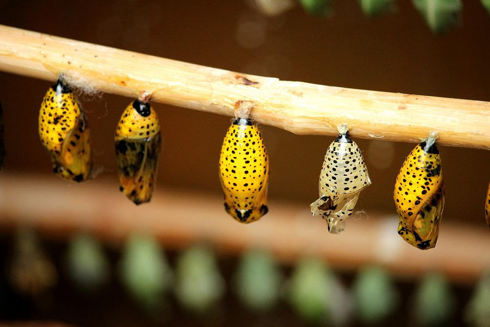 Cocoon, Butterfly, Insect, Nature, Caterpillar, Life