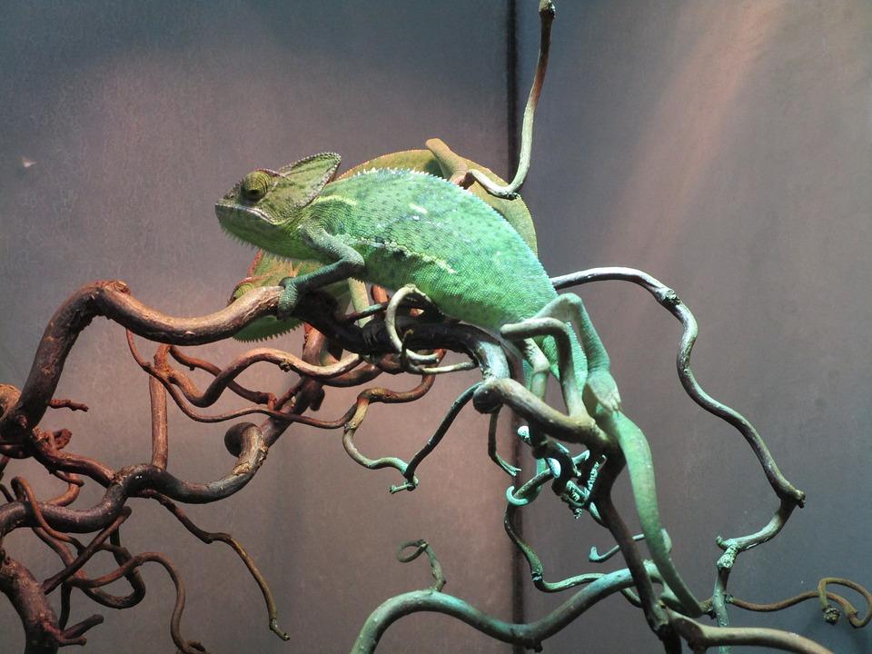 Chameleon Terrarium Lizard Free Photo On Pixabay