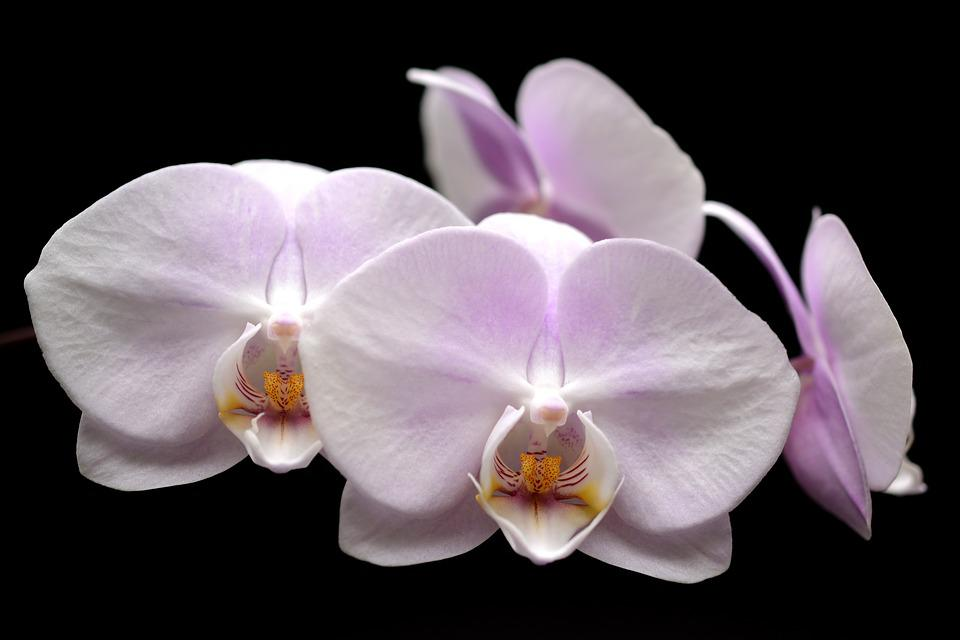 orchid, flower  free images on pixabay, Natural flower