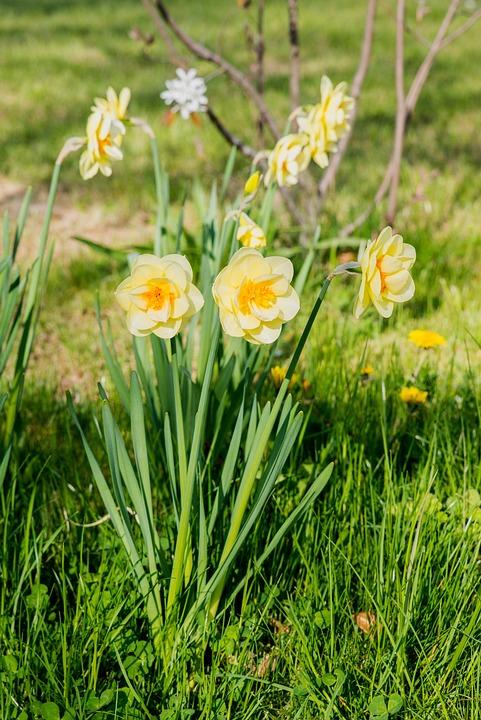 Jonquilles, Fleurs, Narcisse, Jaune, Fleur De Printemps