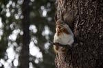 wiewiórka, las, natura