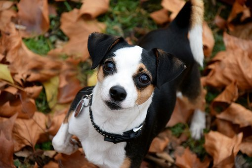 Cão, Pequenas, Outono, Folhas, Cabeça