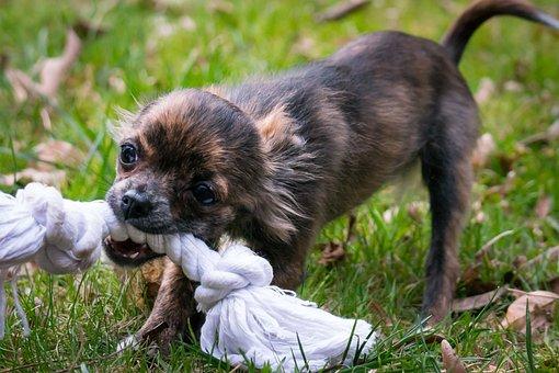 Chihuahua Bite Rope Small Dog Dog Puppy Ba