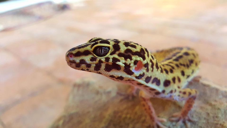 Leopard, Gecko, Eye, Pet, Yellow, White, Pink, Reptile
