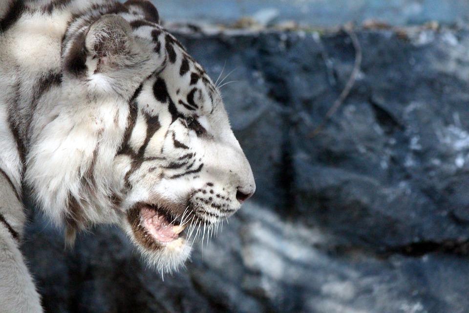 Königstiger Der Weiße Tiger Indian Kostenloses Foto Auf Pixabay