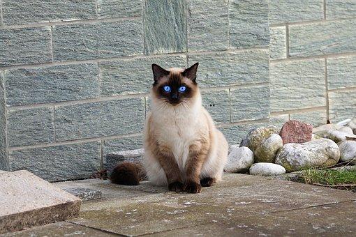 Katze, Siamkatze, Fell, Kätzchen