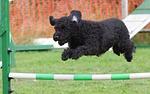dog, agility, training