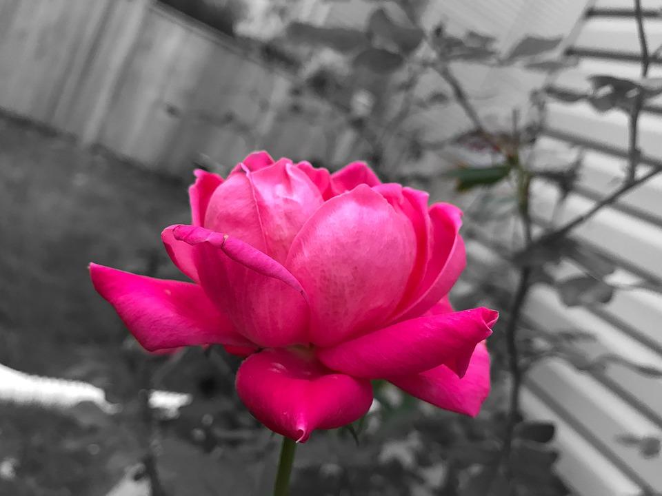 Fleur Rose Noir Et Blanc Photo Gratuite Sur Pixabay