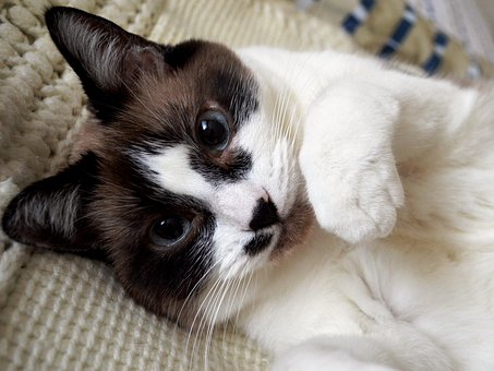 Cat, Siamese, Kitty, Pet, Animal, Cute
