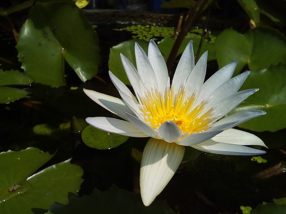 lotus, leaf  free images on pixabay, Natural flower