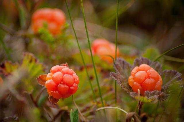 Cloudberry Bush Produces Berries 183 Free Photo On Pixabay