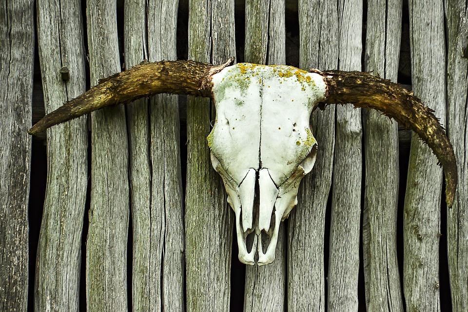 Schädel Rind Knochen · Kostenloses Foto auf Pixabay