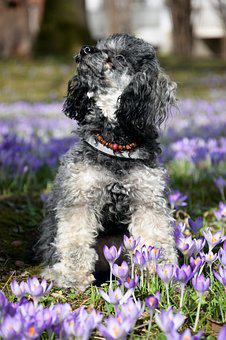 Dog, Miniature Poodle, Poodle, Crocus