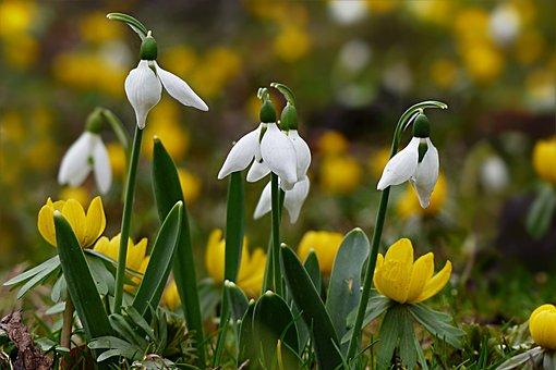 Blume, Schneeglöckchen, Galanthus