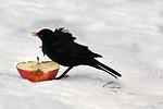 bird, throttle, turdus philomelos