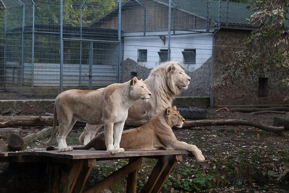 ライオンズ 動物園 ニーレジハー...