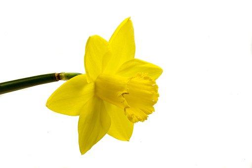 Narcis, Blume, Gelb, Weißer Hintergrund
