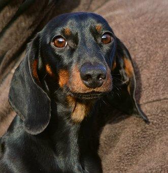 free dashounds