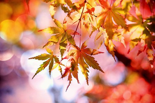 メープル, カエデの葉, Emerge, 紅葉, 秋, カラフル, 秋の色