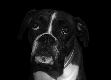 Boxer, Dog, Sad, Breed, Pet, Animal