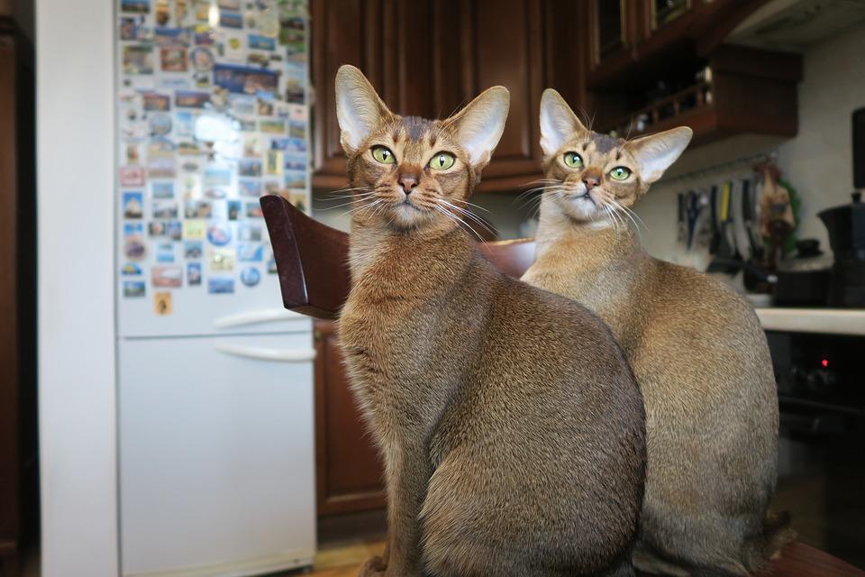 Mladé chlpaté mačička dievčatá