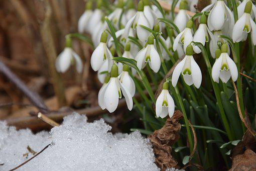 Snowdrop, Spring, Signs Of Spring